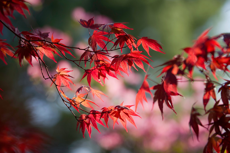 Blowy Maple Leaves