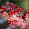 Blowy Maple Leaves