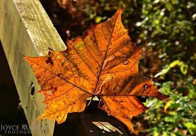 Fall leaf -- DSC_8976