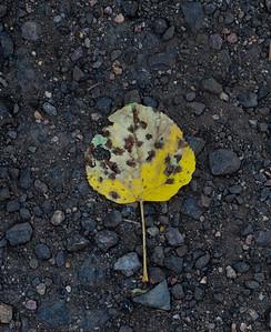 Decaying fallen Aspen Leaf and rockes