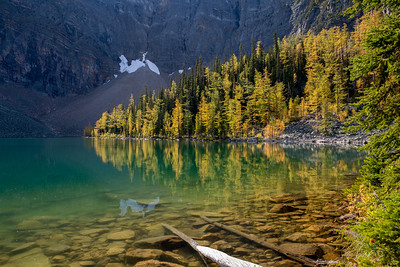 Larches at Arnica Lake, Banff National Park