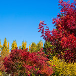 Fall-colors-and-leaves-Silicon-valley