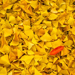 Fall_Leaves-Fall-Colors-Northern-California-Yellow-Leaves