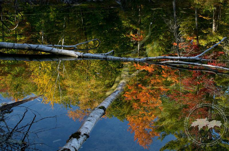 Resting Birches