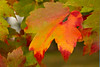 10 10 leaf dog_137