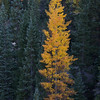 Lonely Golden Aspen