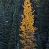 Lonely Golden Aspen