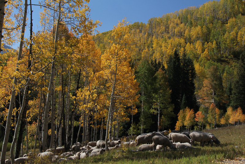 Kebler Pass with sheep