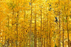 """Pure Autumn Gold"" Independence Pass, CO"
