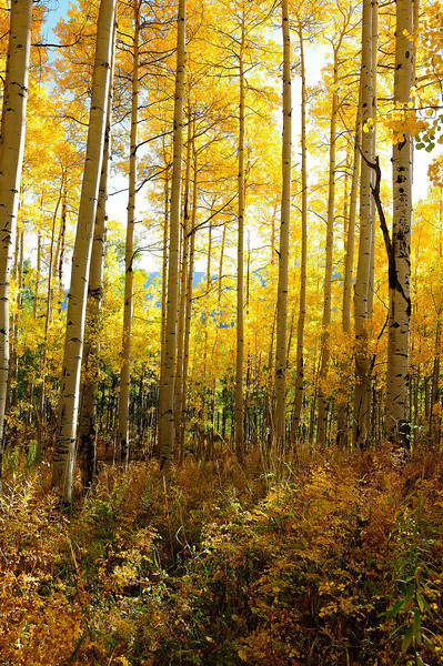"""Quaking Aspen"" Aspen, CO"