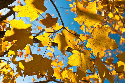 Golden maple leaves against the late November sun.