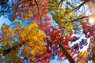 Oaks and Hickories in their brightest contrast colors. The big red oaks have turned bright red but the smaller ones still have green leaves.
