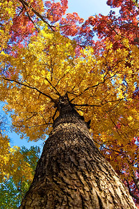 A magnificent hickory in bright yellow fall colors.