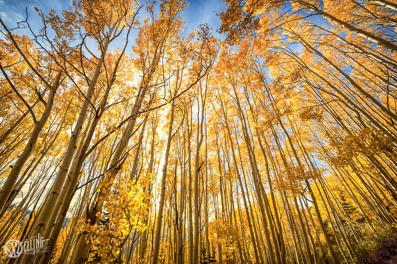 Golden Aspens at Sunset