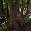 123  G Nurse Tree
