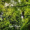 38  G Maple Leaves