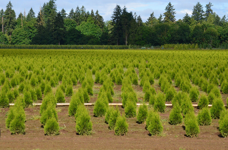 Not all crops in Oregon are wheat, mint or potatoes as here is a tree farm