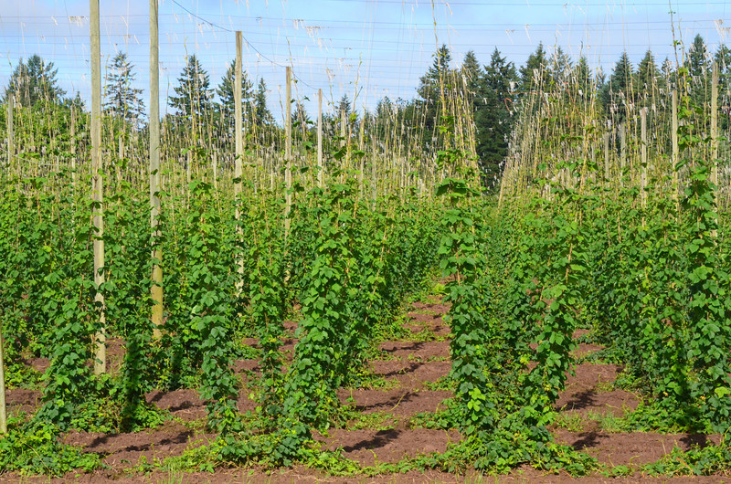 A field of hops which are also raised in Oregon. In fact they call Hubbard, Oregon the hop capital of the world