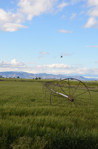 A wheel line sits waiting to water the farmers crop with a lone hawk flying over looking for mice