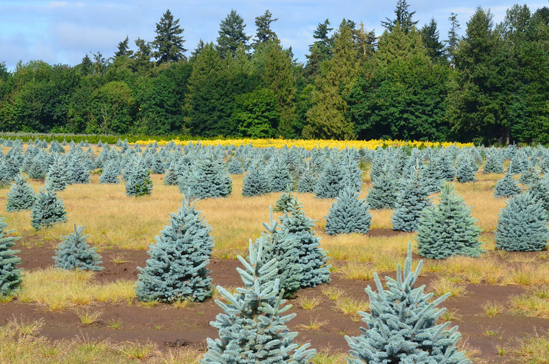 Not all farms in Oregon are grains, potatoes and mint or cattle ranches. This is a Christmas tree farm