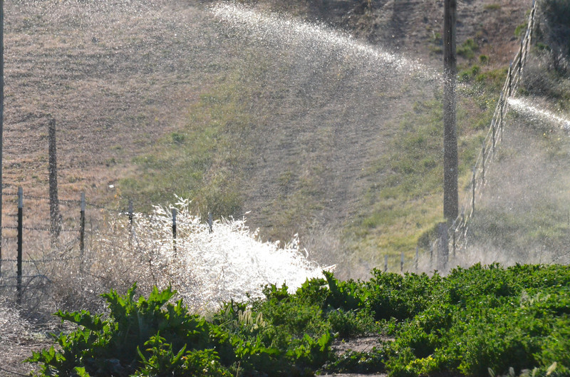 A hand line irrigation system that has left a covering of ice in the early morning making even some old weeds pretty.
