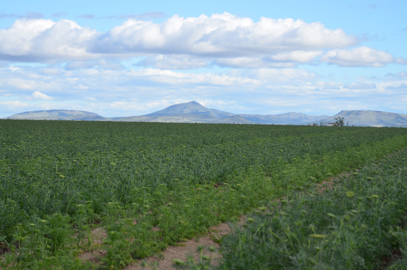 The buttes of Central Oregon looking over a farmers crop
