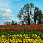 Tulip Field, Farm and Tree