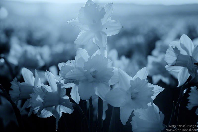Daffodils in Skagit Valley, Washington