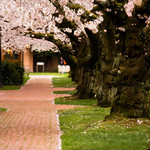 ~*~ Cherry Blossom  - Quad, University of Washington, Seattle  ~*~
