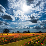 Dramatic clouds, Sun and Tulip fields