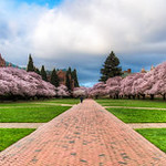 Cherry Blossoms in Quad, University of WA