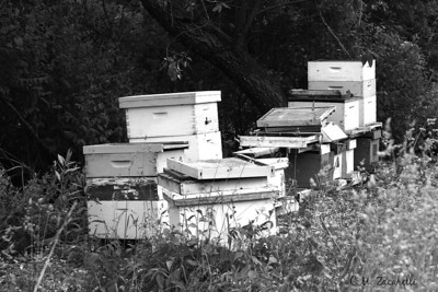 Bee, Bees, bee hive, bee hives, bee farm,  Portland CT. farm, farming