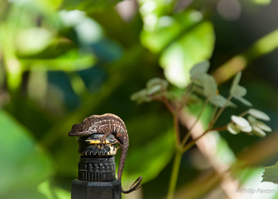 Lizard on Sprinkler Head