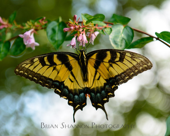 Yellow Swallowtail by Brian Shannon