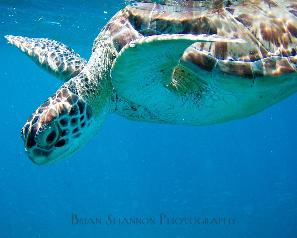 Sea turtle by Brian Shannon