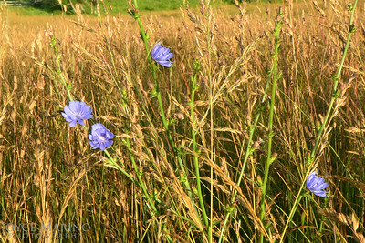 Wildflowers amidst hay fields of summer - #DSC_0223.