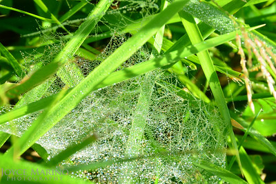Glistening cobwebs with morning dew - #DSC_3793