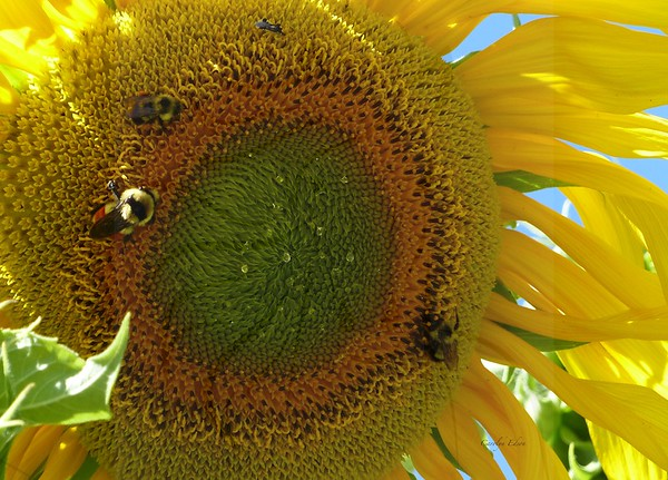 Sunflower ~bees and dew drops.