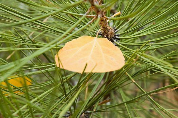 Closeup of a lonely Aspen leaf on a pine branch (ND70_2005-10-16DSC_2079-AspenLeafCloseupOnPine-2 copy.jpg)