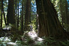A very crooked growing large Redwood tree.<br /> ND70_2006-07-10DSC_4340-RedwoodTreeBase-2.JPG