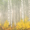 Aspens in Fog - Colorado