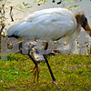 A Wood Stork (endangered species list) is being stalked by an alligator. Don't worry, he doesn't get him.