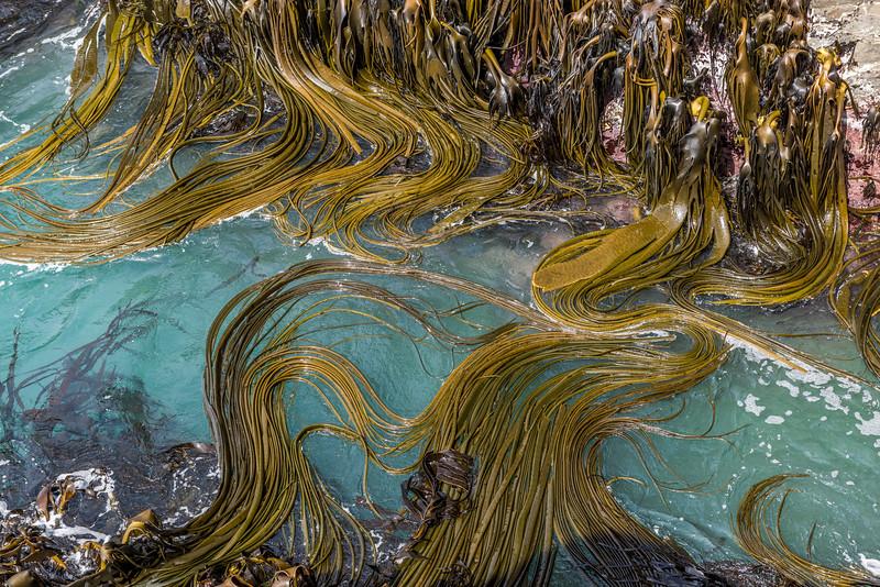 Bull kelp / rimurapa (Durvillaea antarctica). Remarkable Cave, Cannibal Bay, Catlins.
