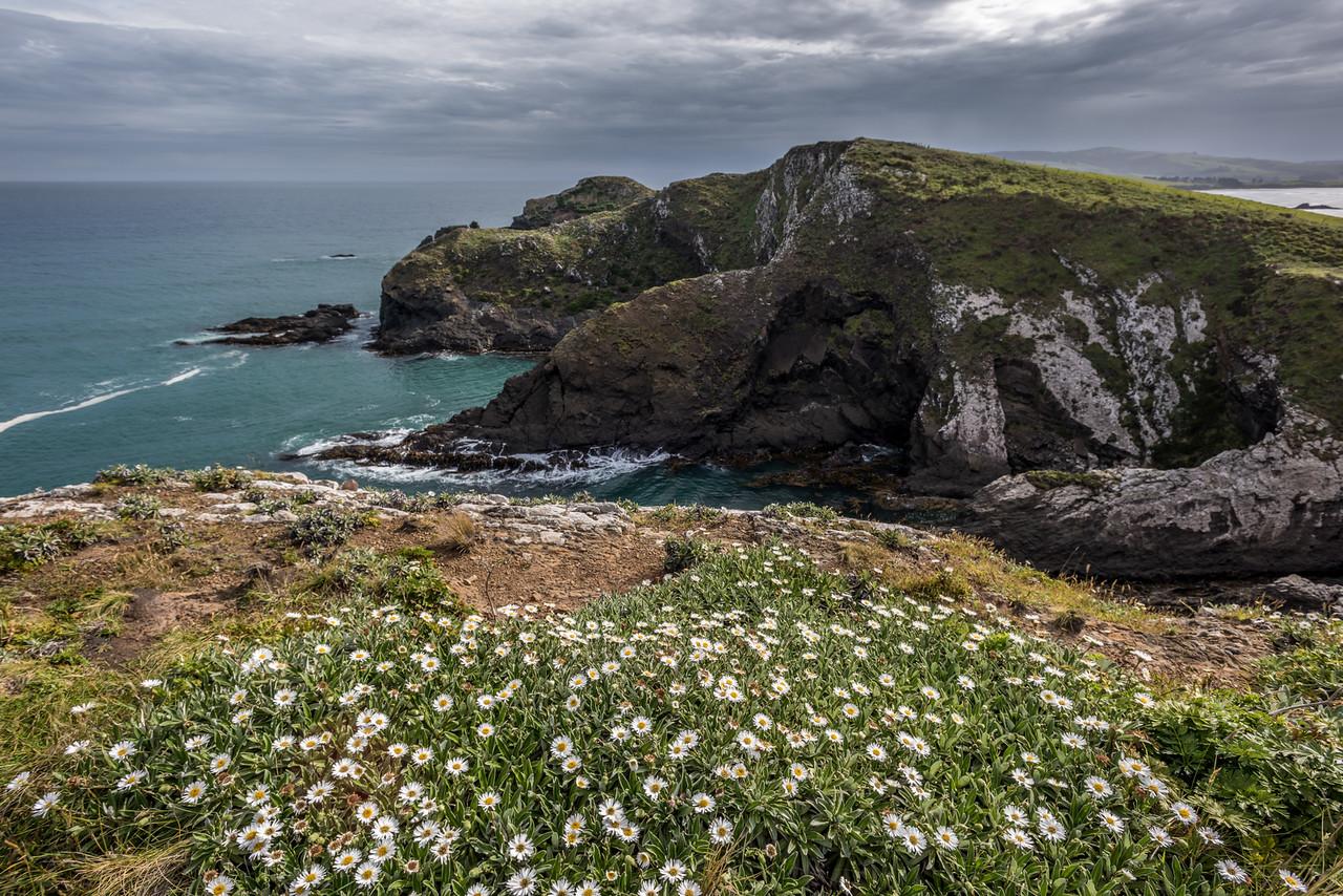 Lindsay's Daisy (Celmisia lindsayi). False Islet, Catlins