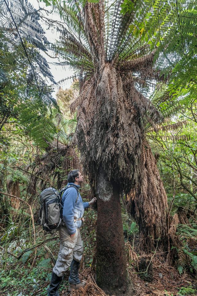 Golden tree fern / whekī-ponga (Dicksonia fibrosa). Old Coach Road, Tahakopa Bay, Catlins