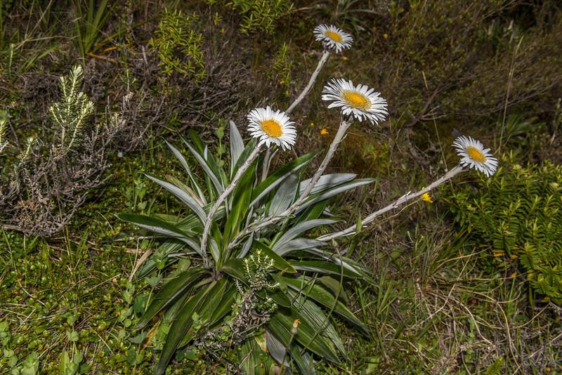 Cotton plant (Celmisia spectabilis), Mount Fyffe, Kaikoura.