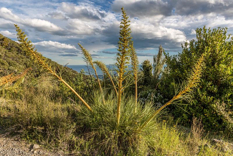 Wild spaniard / taramea (Aciphylla colensoi), Mount Fyffe, Kaikoura