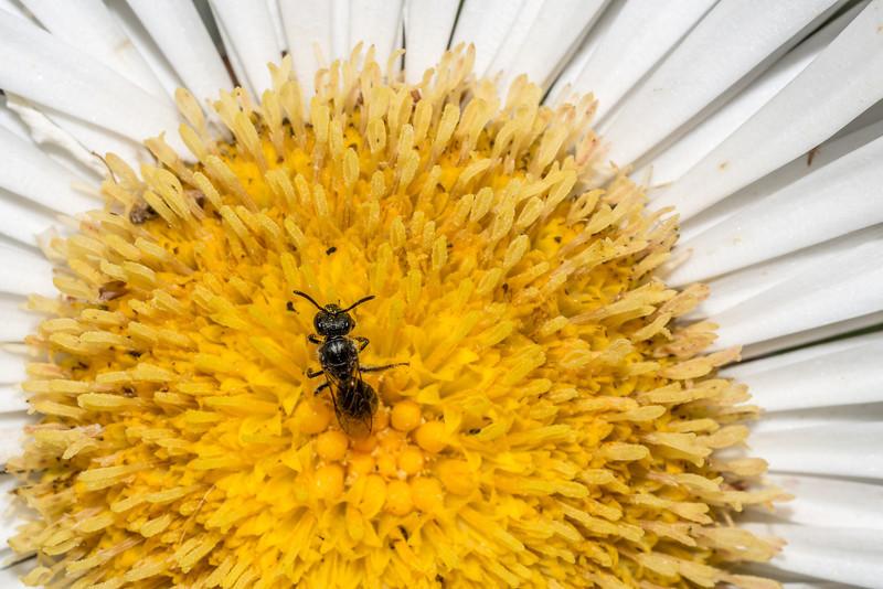 A small sweat bee (Lasioglossum sordidum, female) feeds on cotton daisy (Celmisia spectabilis). Mount Fyffe, Kaikoura.