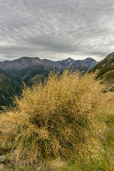 Mid-ribbed snow tussock (Chionochloa pallens susp. pilosa). Mt Fyffe, Kaikoura. Mount Saunders, Manakau and Uwerau in the bacground
