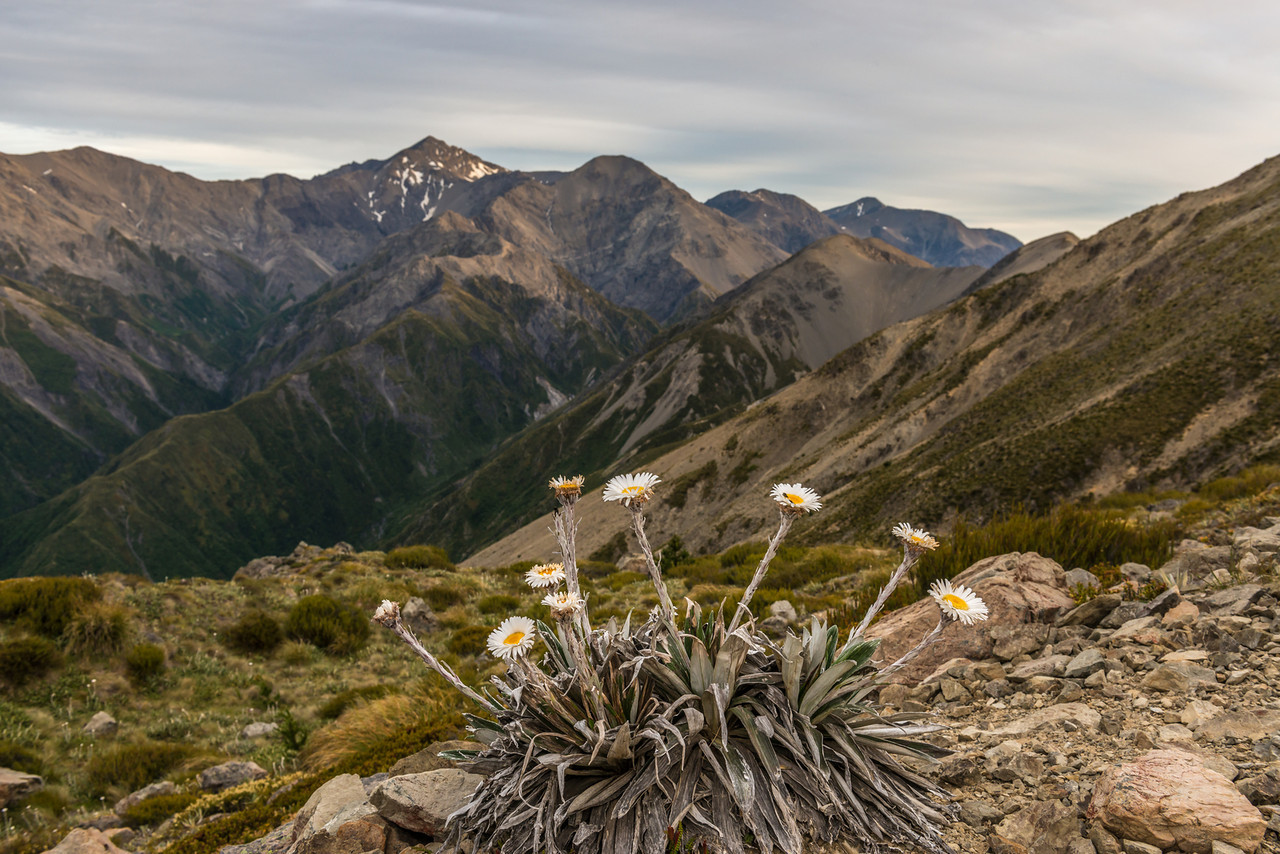 Cotton plant (Celmisia spectabilis), Mount Fyffe, Kaikoura. Manakau, Uwerau and Te ao Whekere in the background